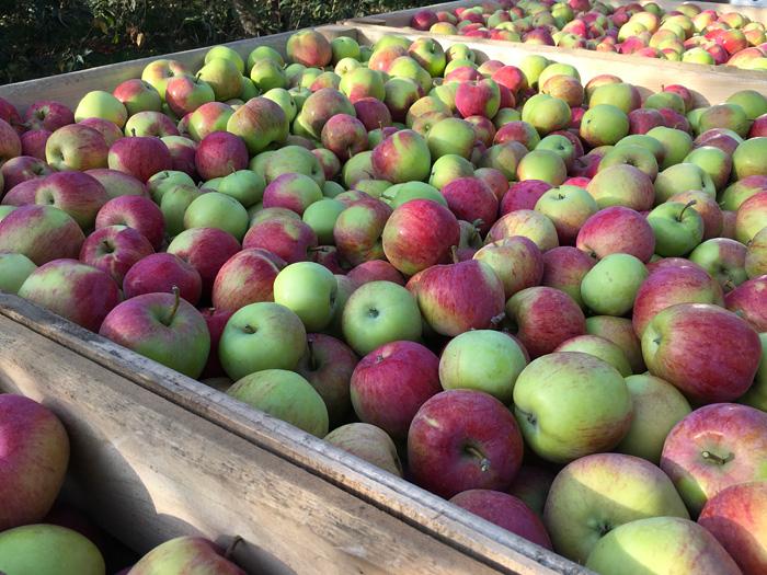 Сбор яблок в Липецкой области