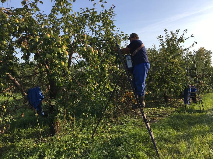Сбор яблок в Лебедяни
