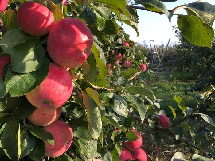 Яблоки сорта Ветеран в садах Лебедяни