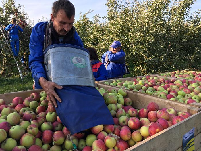 Яблоки аккуратно высыпают в контейнеры