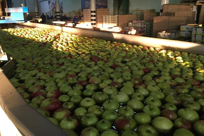 Перед упаковкой яблоки моют