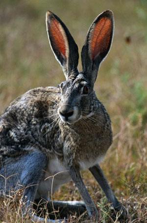 Почему у зайца длинные уши?